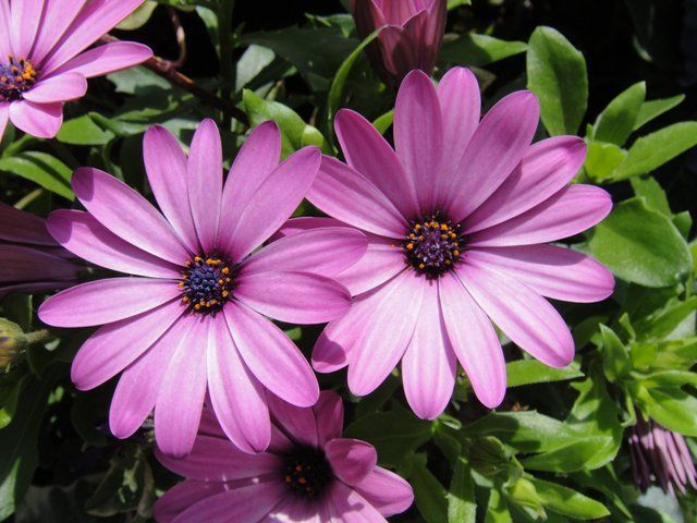 osteospermum 39 mauve 39 pot de 10 5 cm balcon terrasse. Black Bedroom Furniture Sets. Home Design Ideas