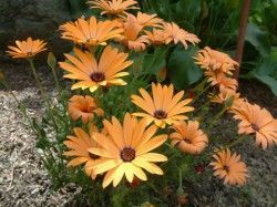 OSTEOSPERMUM 'Orange' (pot de 10.5 cm)