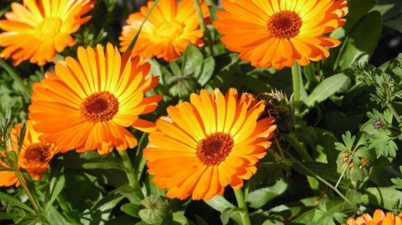 osteospermum 39 orange 39 pot de 10 5 cm balcon terrasse. Black Bedroom Furniture Sets. Home Design Ideas