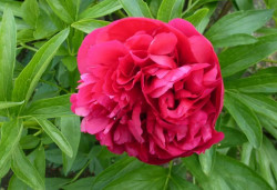 PAEONIA officinalis 'Rubra Plena'
