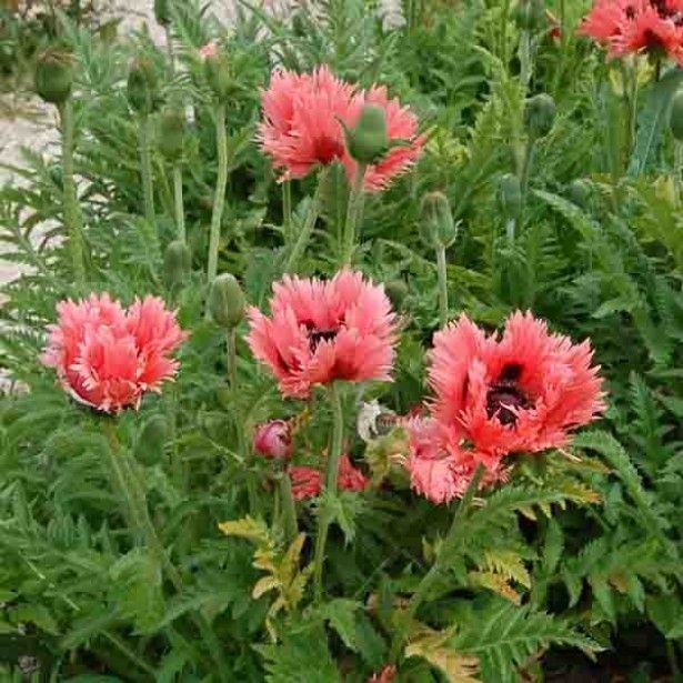PAPAVER orientale 'Clochard'®