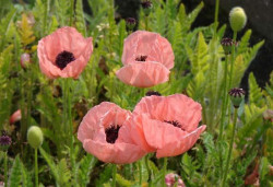 PAPAVER orientale 'Little Dancing Girl'