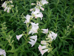 PENSTEMON 'White Bedder'