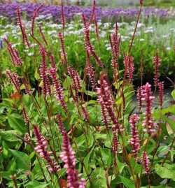 PERSICARIA amplexicaulis 'Early Pink Lady'