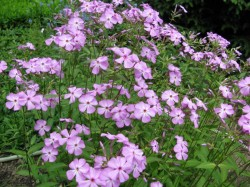 PHLOX carolina 'Bill Baker'