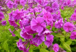 PHLOX paniculata 'Purple Flame'