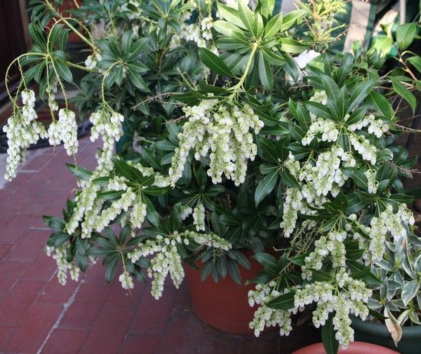 PIERIS japonica 'Purity'
