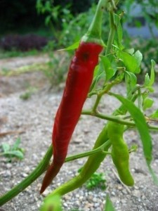 Piment Fort Fuego f1 (pot de 10.5 cm)