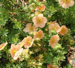 POTENTILLA fruticosa 'Daydawn'