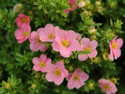 POTENTILLA fruticosa 'Lovely Pink'®