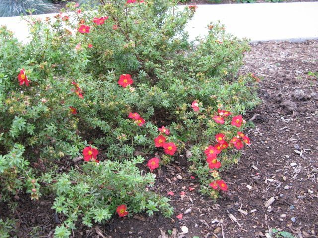 POTENTILLA fruticosa 'Red Robin'