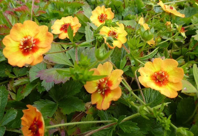 Potentilla vivace 39 tonguei 39 plantes vivaces for Prix plantes vivaces