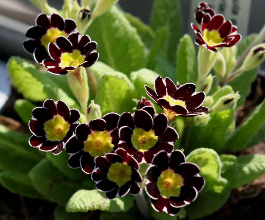 PRIMULA elatior 'Gold Lace Black'