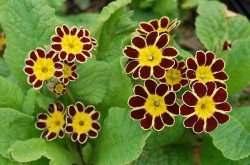 PRIMULA elatior 'Gold Lace Red'