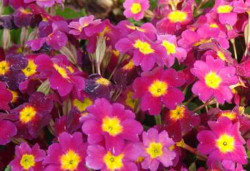 PRIMULA juliae 'Ideaal'