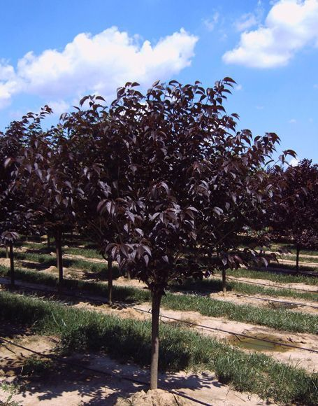 prunus serrulata 39 royal burgundy 39 plantes ext rieures. Black Bedroom Furniture Sets. Home Design Ideas
