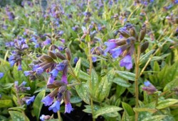 PULMONARIA 'Little Star'