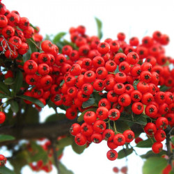 PYRACANTHA 'Red Column'