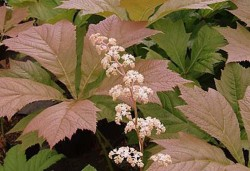 RODGERSIA aesculifolia 'Irish Bronze'