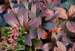 RODGERSIA 'Bronze Peacock'