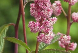 RODGERSIA 'Dark Pokers'®