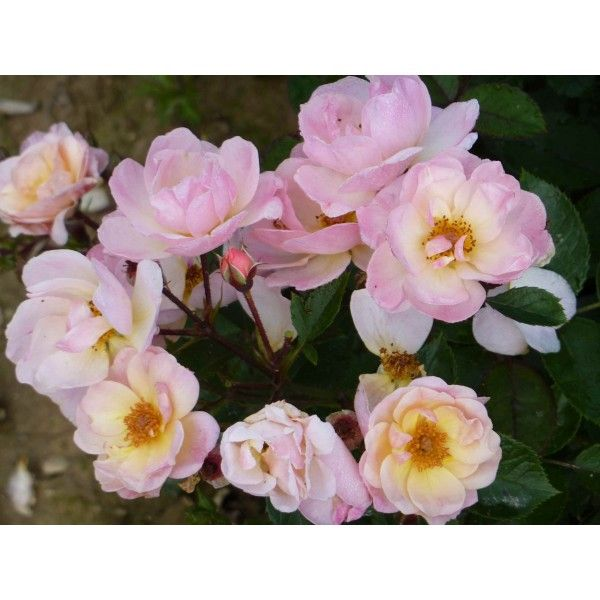 ROSIER arbustif 'ROCK'N ROSE' ® Adafitalu