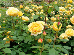 Rosier AUSTIN 'GOLDEN CELEBRATION' ® Ausgold