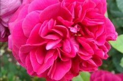 ROSIER AUSTIN 'THE DARK LADY' ® Ausbloom