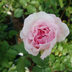 Rosier AUSTIN 'THE WEDGWOOD ROSE'