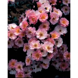 Rosier Couvre-sol 'Pink Cottage' ® Chewily
