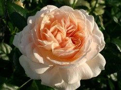 ROSIER 'GARDEN OF ROSES'® ADR 2009