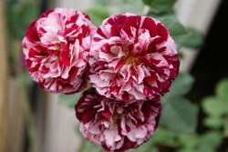 ROSIER Grande fleur 'NEW IMAGINE' ® Dormelo