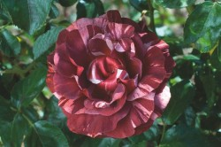 ROSIER Grimpant 'BROWNIE' ® Simstripe