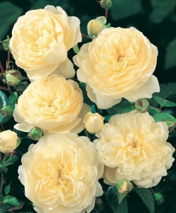 ROSIER Grimpant 'CANTERBURY' ® Harfable