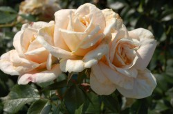 ROSIER 'LIONS ROSE'® ADR 2002