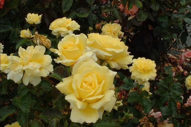 ROSIER Massifs 'GOLDEN DELIGHT'