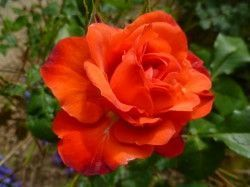 ROSIER Massifs 'ORANGE SENSATION'