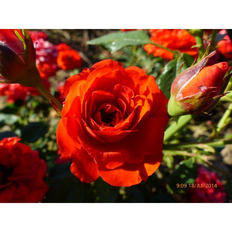 ROSIER Miniature 'ORANGE SYMPHONIE' ® Meininrut