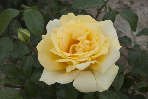 ROSIER 'WINTER SUN'®