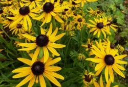 RUDBECKIA fulgida 'Little Goldstar'®