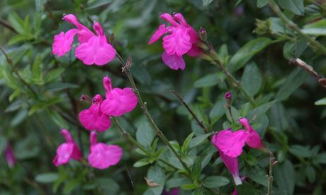 SALVIA microphylla 'Pink Beauty'