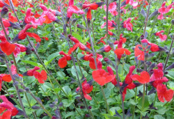 SALVIA microphylla 'Royal Bumble'