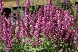 SALVIA nemorosa 'Pink Friesland'