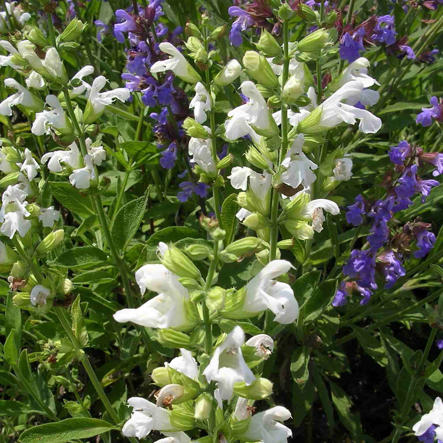 SALVIA officinalis 'Albiflora'