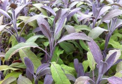 SALVIA officinalis 'Purpurascens'