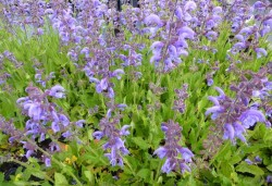 SALVIA sylvestris 'Rhapsody in Blue'®