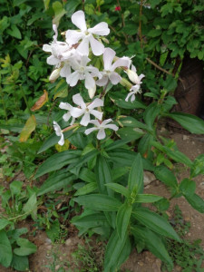 SAPONARIA officinalis 'Alba Plena'