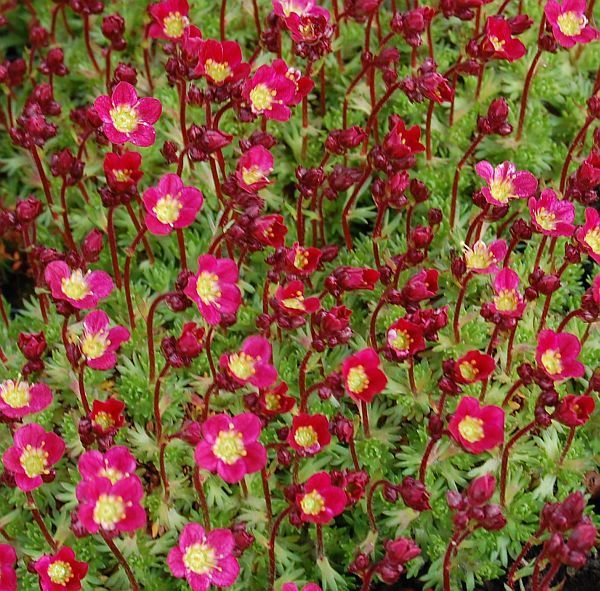 Saxifraga 39 pixie 39 plantes vivaces for Prix plantes vivaces