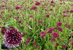 SCABIOSA 'Chile Black'