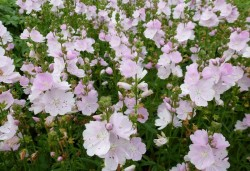 SIDALCEA 'Little Princess'®